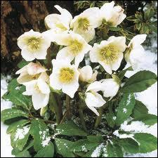 Cette plante est aussi connue sous le nom de Rose de Noël, elle est très belle, dans des couleurs allant du blanc, au rouge en passant par le vert, jaune, mauve, rose. C'est ?