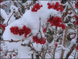 C'est une autre très jolie plante fleurie hivernale, qui se nomme ?