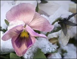Quizz elles fleurissent sous la neige quiz fleurs nature jardin - Fleurs qui fleurissent en hiver ...