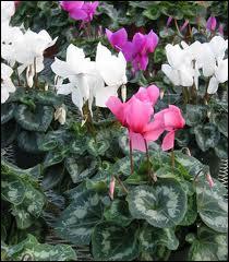Jolie plante fleurie hivernale, qu'on met dans nos intérieurs, aux fleurs semblables au satin rose, fuschia, rouge ou blanc. C'est ?
