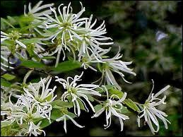 C'est un bel arbuste fleuri d'hiver, aux fleurs très fines et délicates roses ou blanches que le ?