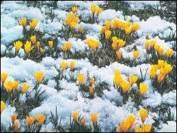 Ce sont de petites fleurs, sur tiges courtes, mais leurs couleurs sont vives (du blanc au jaune ou au bleu et mauve) et magnifiques. Ce sont les ?