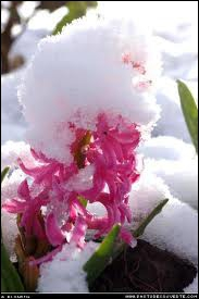 Encore une autre jolie plante d'hiver, délicieusement parfumée, qu'on met dans nos intérieurs. C'est ?