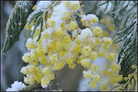 C'est une superbe floraison hivernale, au parfum et à la légèreté incomparables. C'est ?