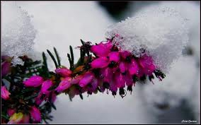 De toutes petites fleurs en grappes sur de petites tiges, c'est la plante dévolue à la montagne et à la lande, blanche ou rosée... C'est ?