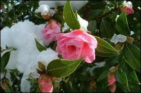 Ces fleurs splendides sont hivernales et ne craignent pas la neige et le froid. Ce sont ?