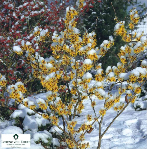 Un délicat arbuste fleuri, même dans la neige, pour éclairer les jardins d'hiver. C'est ?