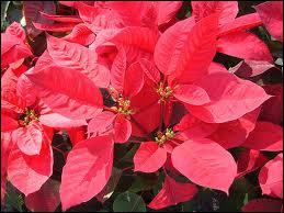 C'est la plante colorée de Noël et de l'hiver. On oublie à quel point elle est belle tant elle est devenue commune. Son nom est ?