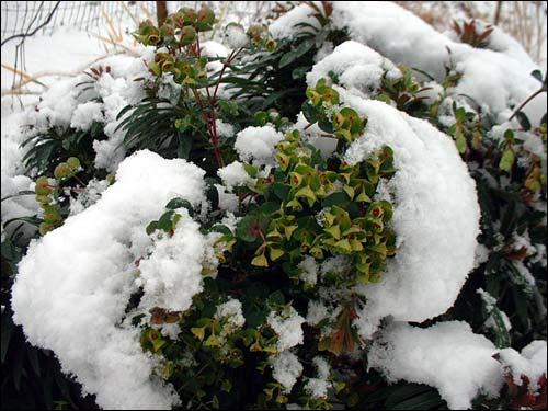 Cette jolie plante qui fleurit vert tendre même en hiver est ?