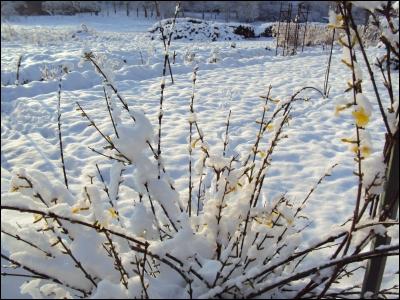 C'est un arbuste fleuri au parfum magnifique, dont on est surpris d'apprendre qu'il peut fleurir en hiver et sous la neige