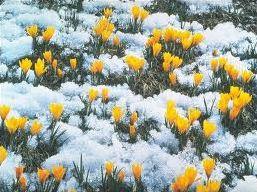 Elles fleurissent sous la neige