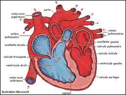 Le péricarde est un recouvrement membraneux à simple paroi qui protège le cœur et les racines des gros vaisseaux sanguins.
