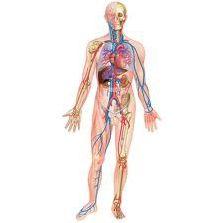 Anatomie du corps humain (5)