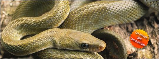 Pourquoi les serpents tirent-il la langue sans arrêt ?