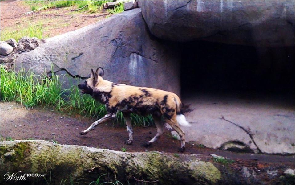 Vous le reconnaissez : Le dingo d'Australie !