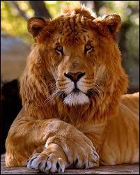 Le ligron résulte de l'accouplement du tigre et de la lionne !