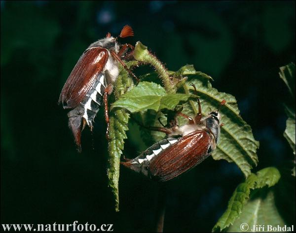quel insecte mange les feuilles