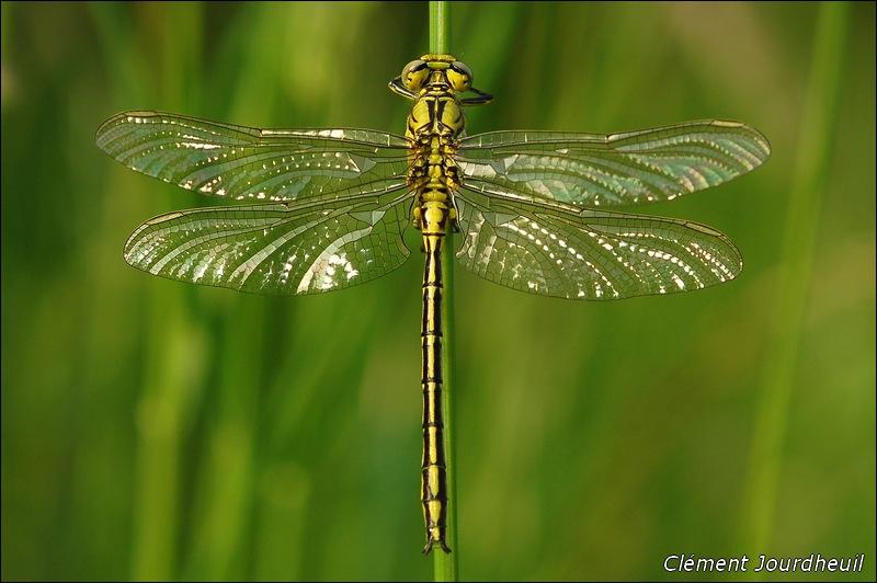 Cette demoiselle vole au gré de l'eau. Elle se nourrit d'insectes et sa larve est destructrice car elle mange les alevins de poissons. Comment appelle-t-on ce bel insecte ?