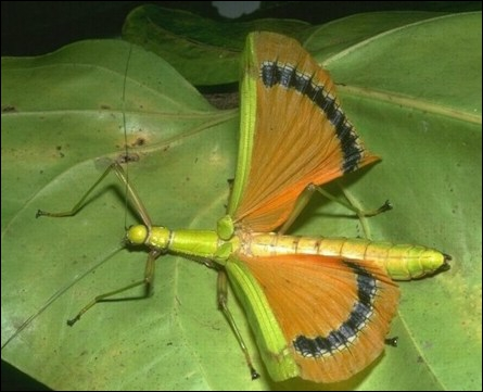 C'est le roi du camouflage, avec ses airs de brindille. Il sort surtout la nuit pour manger les insectes qu'il capture. Il en existe plusieurs espèces . Quel est son nom ?