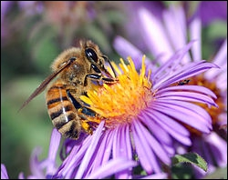 Cette espèce vit dans une ruche, elle butine le nectar des fleurs pour en faire du miel. Comment l'appelle-t-on ?