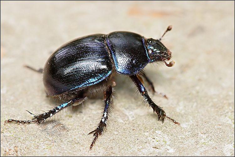 Sur les chemins des forêts, on peut voir un petit scarabée rouler une boule d'excréments. Comment s'appelle ce coléoptère ?