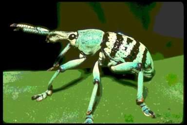 C'est grâce à sa petite trompe qu'il perce les coquilles de noisettes. Il en existe plusieurs espèces, de toutes les couleurs et de toutes les tailles. Comment l'appelle-t-on ?