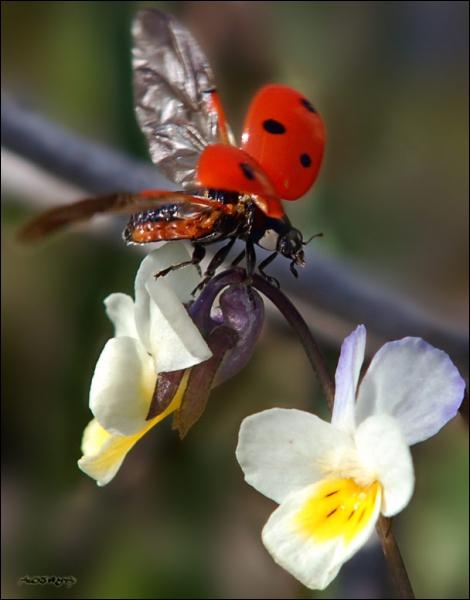 C'est la 'bête à bon Dieu' et l'amie des jardiniers. Elle se nourrit exclusivement de pucerons. Il existe différentes espèces avec plus ou moins de points noirs sur les ailes. Quel est son nom ?