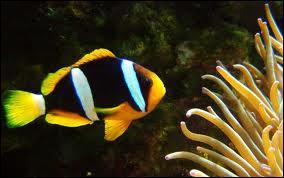 Je possède 2 à 3 bandes et suis l'espèce la plus résistante en aquarium marin