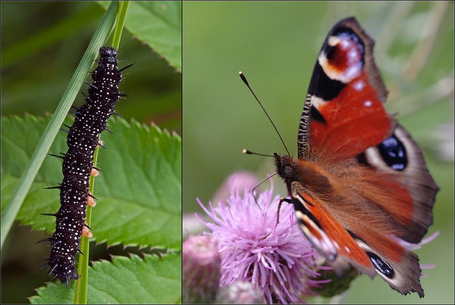 de chenille à papillon