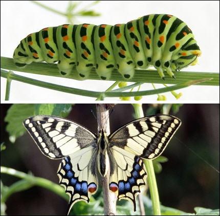 Quizz les papillons et les chenilles quiz photos papillons - Chenille verte et noire ...