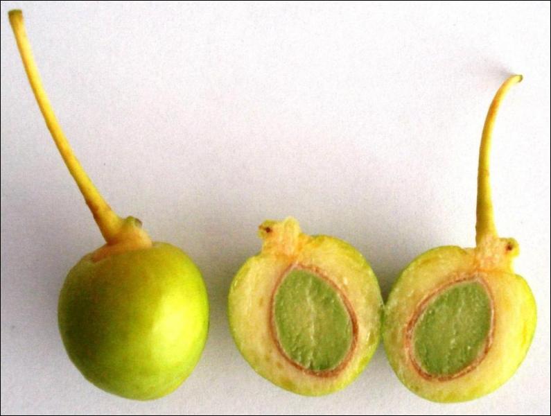Le ginkgo est un fruit datant :