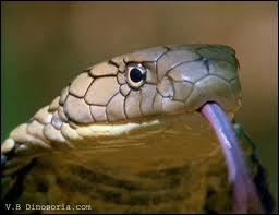 Ouadjet avait la tête d'un serpent particulier, le cobra !