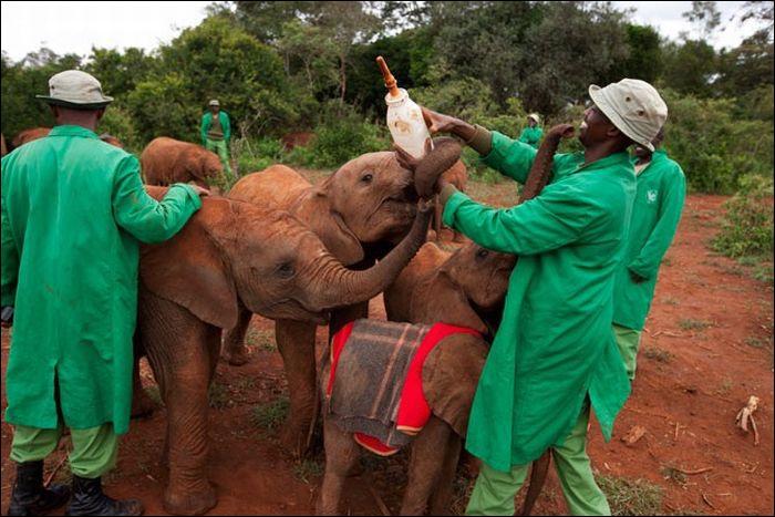 Les éléphant communiquent entre eux, sur des dizaines de kilomètres ...