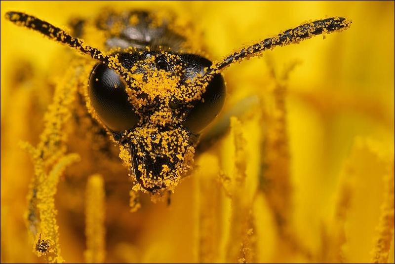Guêpe ou abeille, il faut choisir !