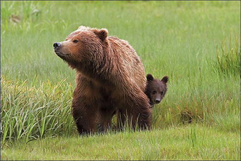 Le grizzly mange de l'herbe, comme un mouton !