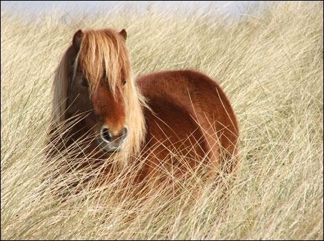 Laquelle de ces races est une race de poney ?