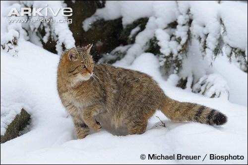 Il hante nos forêts tout en restant très discret, c'est le lynx !