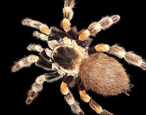 Comment fait une araignée pour déguster sa proie ?