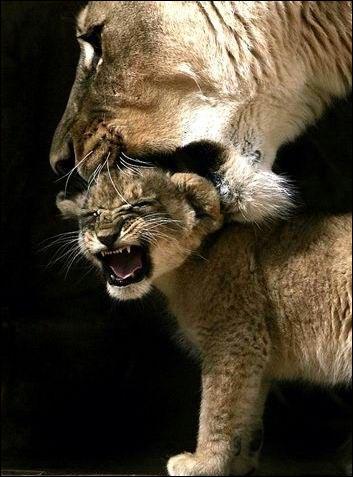 Cette maman et son petit sont des pumas !