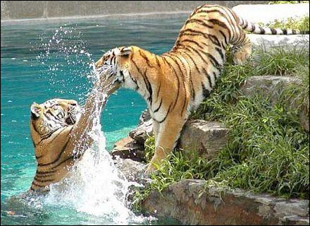 Les tigres n'aiment pas l'eau !