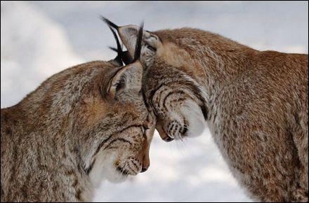 Ce sont des lynx !