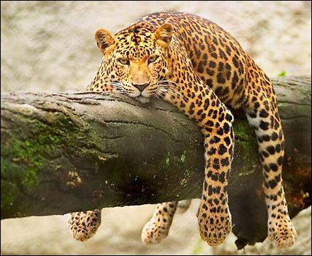 Il monte sa proie sur un arbre !