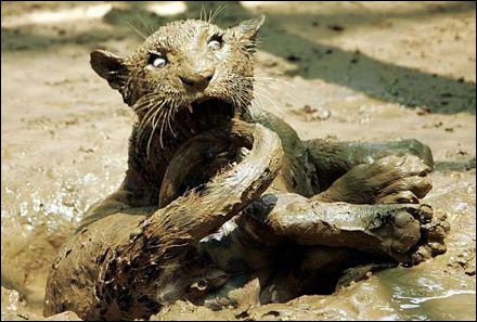 Ce félin est pris dans des sables mouvants !