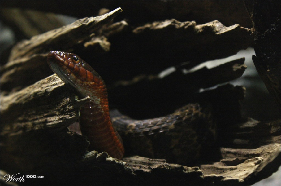 Certains serpents peuvent voler, en planant !