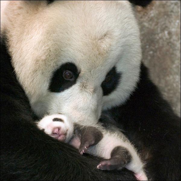 Lorsqu'une maman panda a deux petits, l'un d'eux est condamné !
