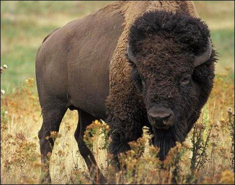 Buffalo Bill est venu chasser le bison en Europe !