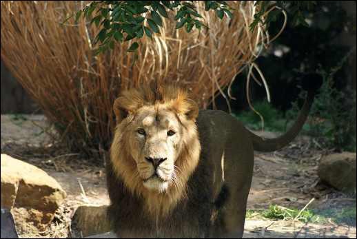 Ce lion vit dans le même pays que le tigre !