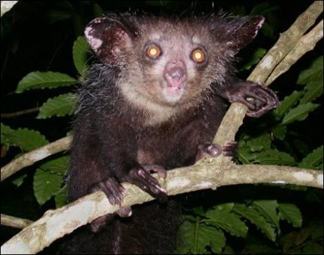 Cet animal, le aye aye de Madagascar, est nocturne et omnivore !