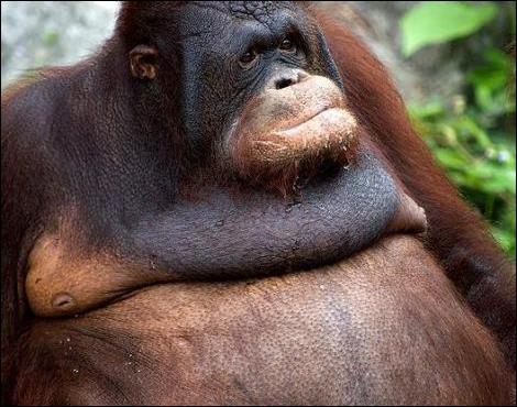 Comme le chimpanzé, l'orang outang fabrique un nid pour dormir !
