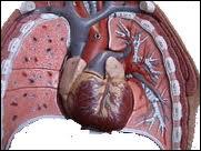 Comment s'appelle la cavité entre les poumons où se trouvent le coeur et divers autres organes ( oesophage, bronches, aorte... ) ?